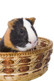 Cavy. Pet sitting in basket isolated Royalty Free Stock Images