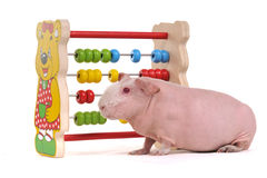 Cavy with Abacus. Cavy is learning to count with Abacus Stock Photography