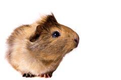 Cavy - animal de estimação bonito Foto de Stock Royalty Free