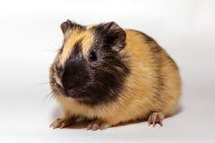 Cavy - animal de estimação bonito Imagens de Stock
