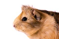 Cavy - animal de estimação bonito Imagem de Stock Royalty Free