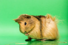 Cavy - animal de estimação bonito Imagem de Stock