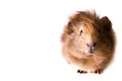 Cavy - animal de estimação bonito Fotografia de Stock Royalty Free