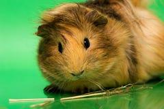 Cavy - animal de estimação bonito Fotos de Stock Royalty Free