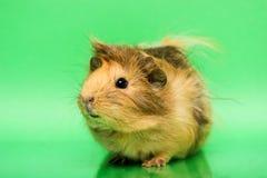Cavy - animal de estimação bonito Fotos de Stock
