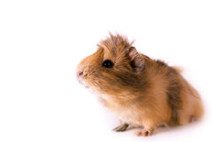 Cavy - animal de estimação bonito Imagens de Stock Royalty Free