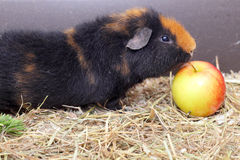 Cavy and apple Stock Image