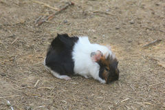 Cavy baby animal in the field Stock Photos