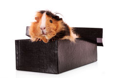cavy in the box  on Stock Photography