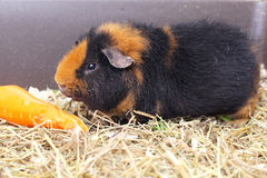 Cavy and carrot Stock Photography