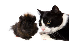 Cavy and cat. Looking away isolated Royalty Free Stock Photo