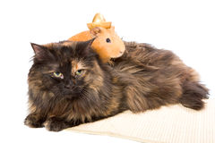 Cavy and cat. Together friendship isolated royalty free stock photos