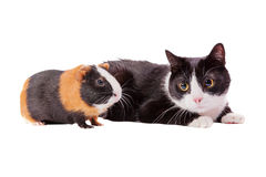 Cavy and cat Royalty Free Stock Image