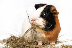 Cavy, conejillo de Indias Fotografía de archivo libre de regalías