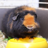 Cavy. Cute brown cavy near the dish Royalty Free Stock Photo