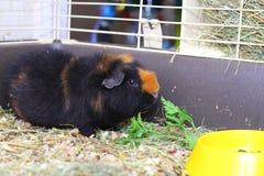 Cavy. Cute brown cavy near the dish Stock Photos