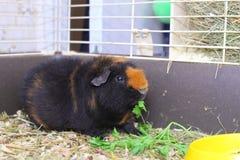 Cavy. Cute little brown cavy feeding Royalty Free Stock Photo