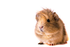 Cavy - cute pet. Fluffy cute rodent - guinea pig on neutral background Royalty Free Stock Image