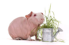 Cavy eating grass. Bald Cavy eating Grass growing in a watering pot Royalty Free Stock Photography