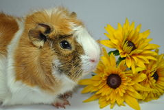 Cavy with flowers Stock Photos