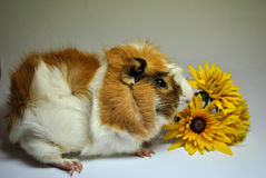 Cavy with flowers Stock Images