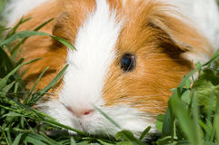 Cavy  in a grass Stock Images