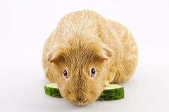 Cavy, guinea pig Royalty Free Stock Photo