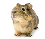 Cavy, Guinea pig. A cavy (Cavia porcellus), a Guinea pig, over white Stock Photography