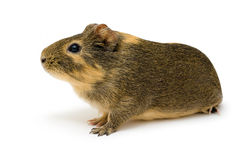 Cavy, Guinea pig Royalty Free Stock Images
