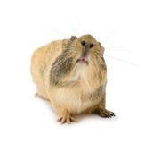 Cavy, Guinea pig. Cavy (Cavia porcellus), Guinea pig, face up stock image