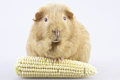 Cavy, guinea pig with cob Stock Photos
