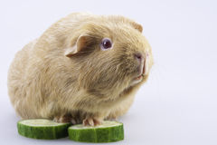 Cavy, guinea pig with cucumber slices Royalty Free Stock Photo