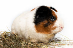 Cavy, guinea pig Stock Photo