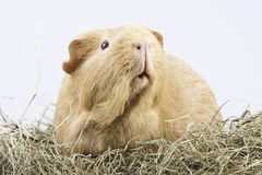 Cavy, guinea pig in hay Stock Photo