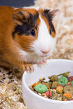Cavy Stock Photos