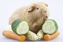 Cavy, guinea pig with vegetables Royalty Free Stock Photos