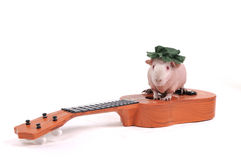 Cavy on a Guitar. Cute Little Cavy Sitting on top of a Guitar Stock Photos