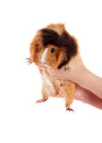 Cavy in hands Stock Photography