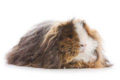 Cavy isolated Stock Image