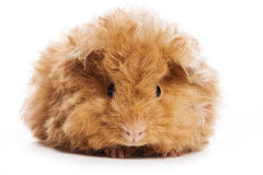 Cavy isolated Royalty Free Stock Image