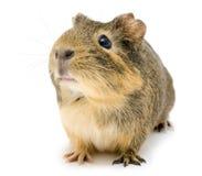 Cavy, królik doświadczalny Fotografia Stock