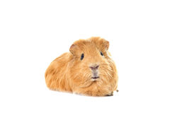 Cavy looking Stock Photos