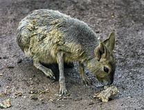 Cavy Patagonian images stock