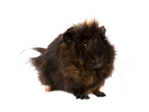 Cavy pet Stock Photo