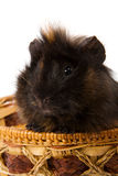 Cavy pet Royalty Free Stock Photography