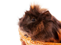 Cavy pet closeup Royalty Free Stock Images