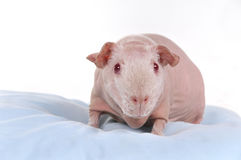 Cavy on a Pillow. Skinny breeded cavy on a pillow Royalty Free Stock Photography