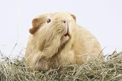 Cavy, proefkonijn in hooi Stock Foto