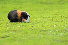 Cavy. The tricolored cavy on the grass Stock Image