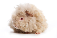 Cavy on white background Royalty Free Stock Photography